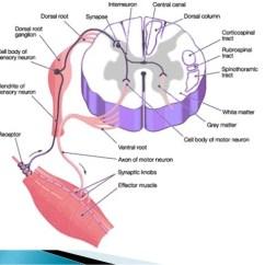 Facial Trigeminal Nerve Diagram 2002 Chevrolet Trailblazer Radio Wiring Spinal Cord And Peripheral