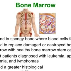 Bone Marrow Cell Diagram 2001 Dodge Dakota Wiring Stereo Stem Cells