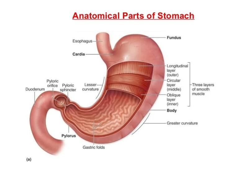 Fetal Pig Stomach Diagram Labeled
