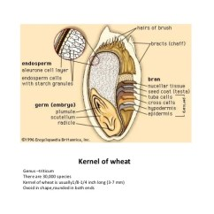 Grain Kernel Diagram 2001 Nissan Altima Exhaust System Strucuture Of Cereal Grains And Legumes