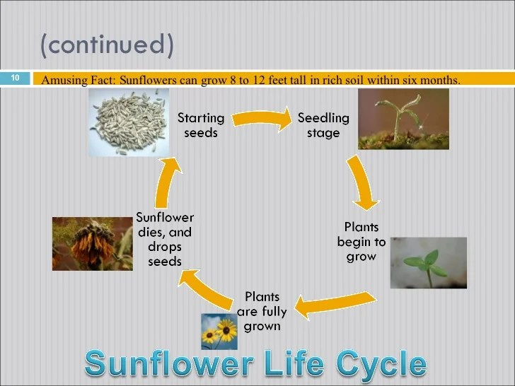 sunflower plant life cycle diagram water well pump wiring sunflowers 10