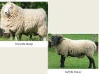 carpet wool sheep  Floor Matttroy