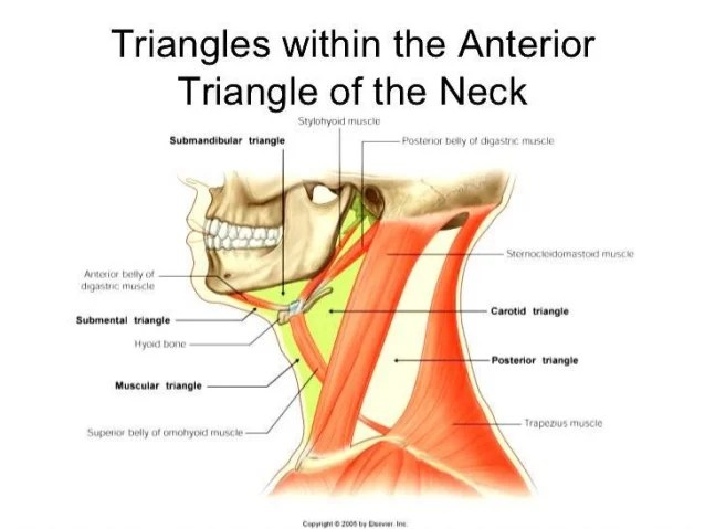 Strap Muscles External Jugular Vein
