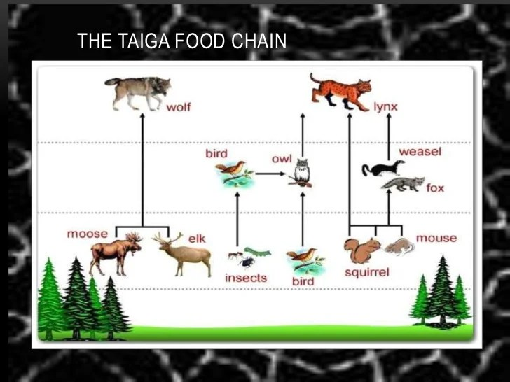 taiga food web diagram subwoofer wiring 12 volt ecosystem chain related keywords suggestions