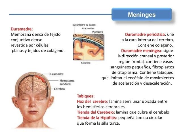 Tarea 6 Meninges Fundamentos de Neurocienciaas mp