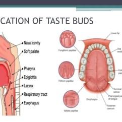 Human Taste Buds Diagram Traxxas T Maxx 3 Parts Pathway Filiform Papillae 18