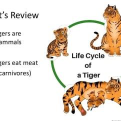 Tiger Shark Life Cycle Diagram Centrifugal Pump Mechanical Seal Animal 3 24 Kenmo Lp De Wiring Online Rh 2 20 Lightandzaun Body