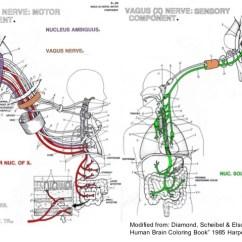 Vagus Nerve Diagram Bathroom Fan With Timer Wiring The Gut Brainstem Obex Section Medulla Oblongata 18