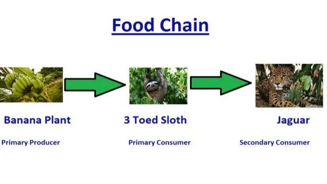 tropical rainforest food web diagram stereo jack to rca wiring chain example unload
