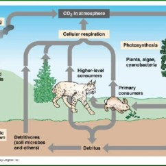 The Carbon Cycle Diagram Gcse African Elephant Food Chain Hd Wallpapers Www Ci3dimobile Ga Get Free High Quality