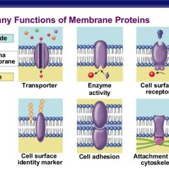 Bacterial Cell Diagram And Functions 2011 Toyota Sienna Wiring The Membrane - A Micro-insight Of Life.