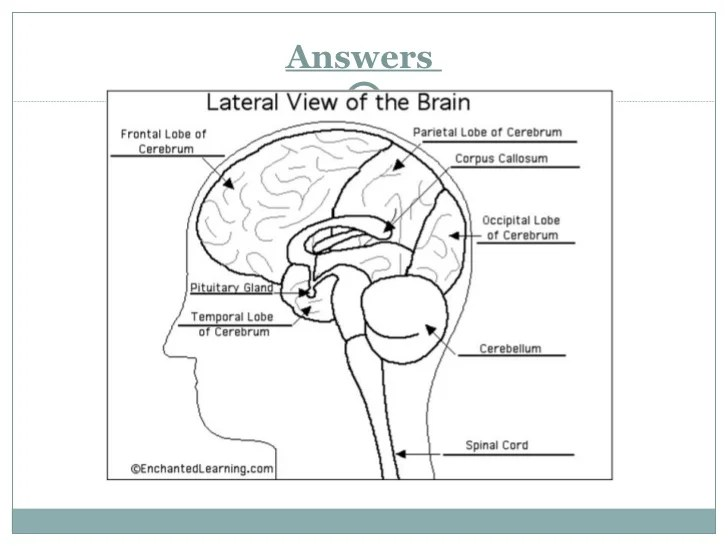labelled diagram of human brain winch wiring for atv the presentation answers 22