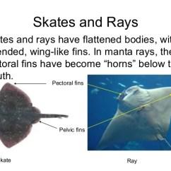 Ray And Skate Diagram Crown Oil Pressure Gauge Wiring Manta Life Cycle Diagrams Rentalbee Co U2022 Illustration