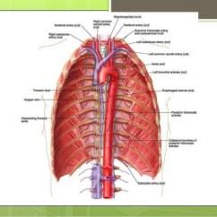 Coronary Arteries Diagram Branches 93 Mustang Radio Wiring Thoracic Aorta