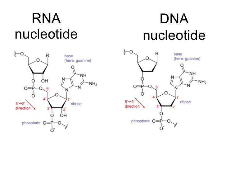 translation vs transcription venn diagram 2000 ford focus exhaust system of dna and rna plant animal cells ~ elsavadorla