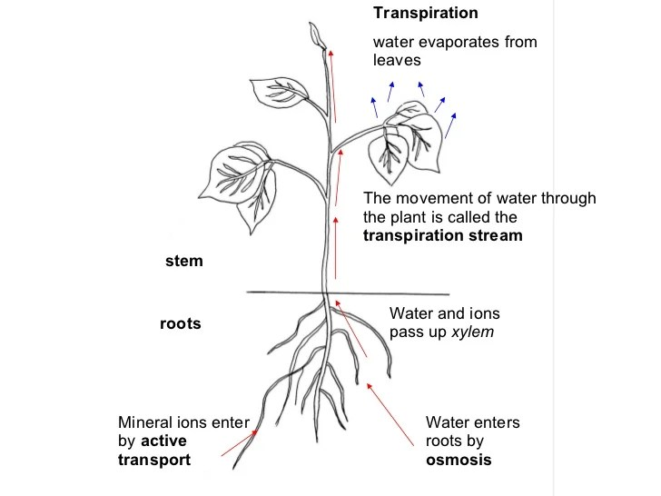 Image result for water movement in plants