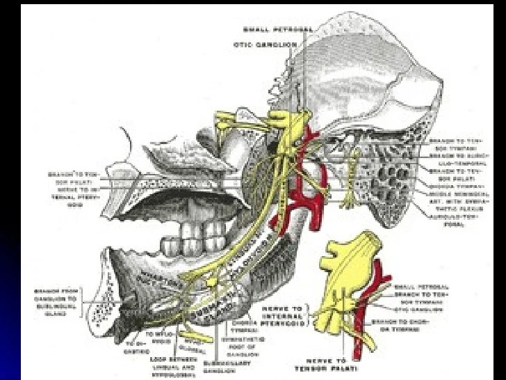 Trigeminal Nerve (Mandibular Division) Introduction
