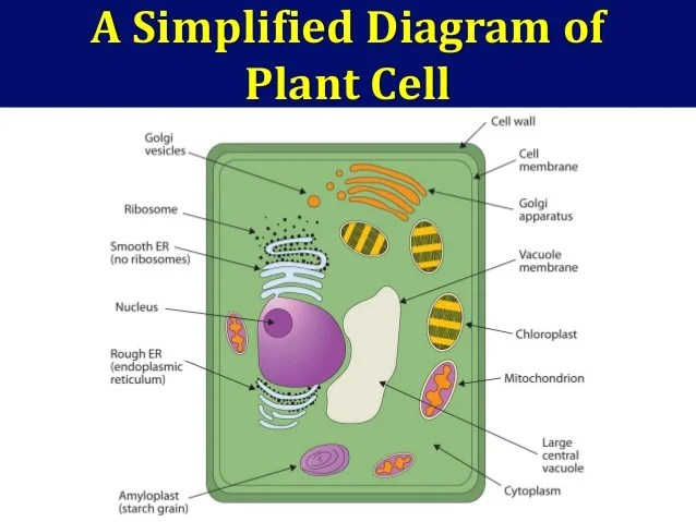 Generalized Plant And Animal Cells