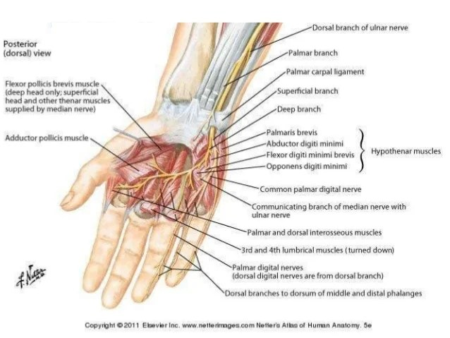 hand nerves diagram golf tdi vacuum hose anatomy and examination of ulnar sciatic nerve rosshini jagatheswaran 12