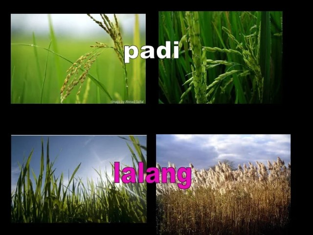 Image result for lalang vs padi