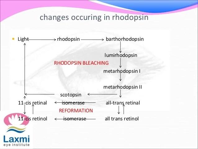 also vitamin   visual cycle rh slideshare
