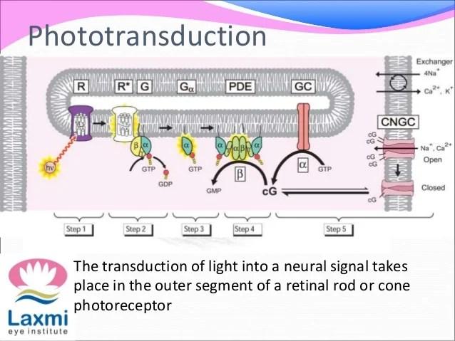 Photoreceptor also vitamin   visual cycle rh slideshare