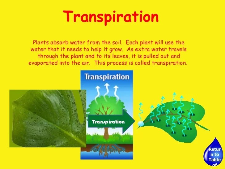 Transpiration Plants absorb water from the soil.  Each plant will use the water that it needs to help it grow.  As extra w...