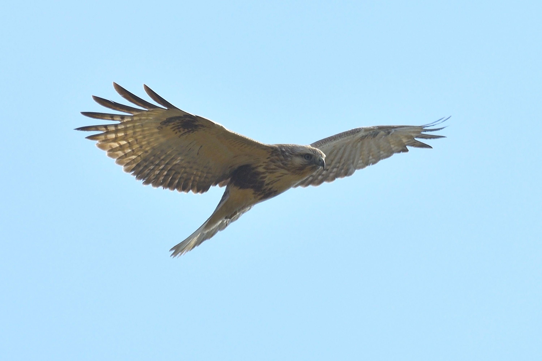 野鳥の飛翔の様子 「ケリ」「ノスリ」他   野鳥との日常生活を綴る - 楽天ブログ