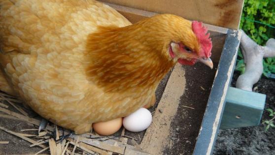 「卵温める鳥」の画像検索結果