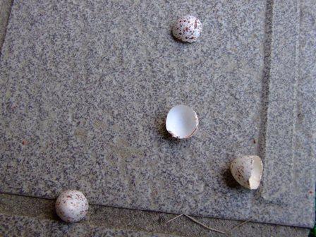 自宅玄関上のツバメの卵の殻