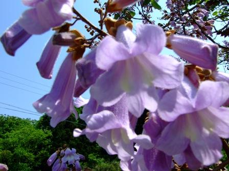 桐の花~笹川流れの山にて