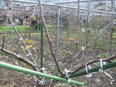 梨の徒長枝を側枝として利用する方法!! | 素人果樹栽培と特選園蕓グッズ - 楽天ブログ