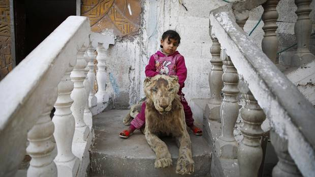 A child sits on a mummified lion, he was killed in a rocket attack