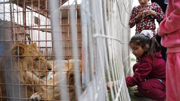 A child wants to feed the lions. The condition of the cages is not only dangerous for the animals.