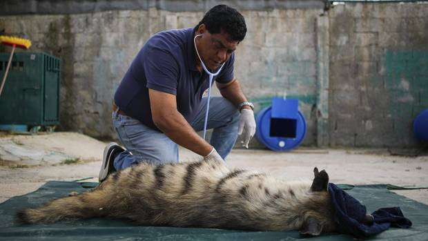 This hyena is doing very badly. After the examination, Dr. Khalil her infusions