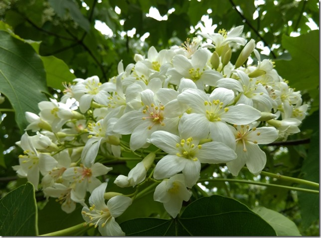 08_thumb5 芎林-綠色小徑 賞桐花順便來喝個茶吧