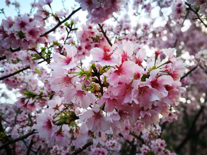 tienyuan11 淡水-晨光中綻放的櫻花 北台灣最夯賞櫻景點天元宮