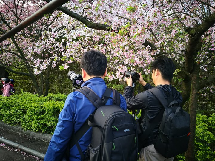 tienyuan15 淡水-晨光中綻放的櫻花 北台灣最夯賞櫻景點天元宮