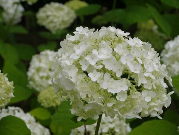 flowertemple21 Kamakura-鎌倉長谷寺 紫陽花季人山人海啊
