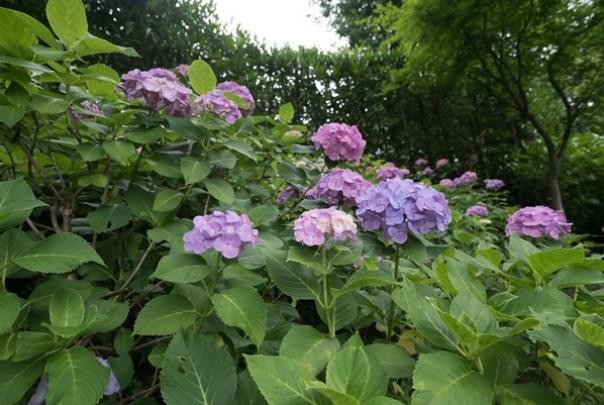 flowertemple32 Kamakura-鎌倉長谷寺 紫陽花季人山人海啊