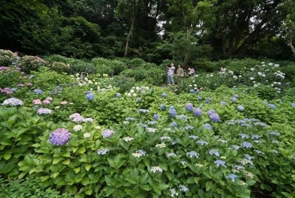 flowertemple42 Kamakura-鎌倉長谷寺 紫陽花季人山人海啊