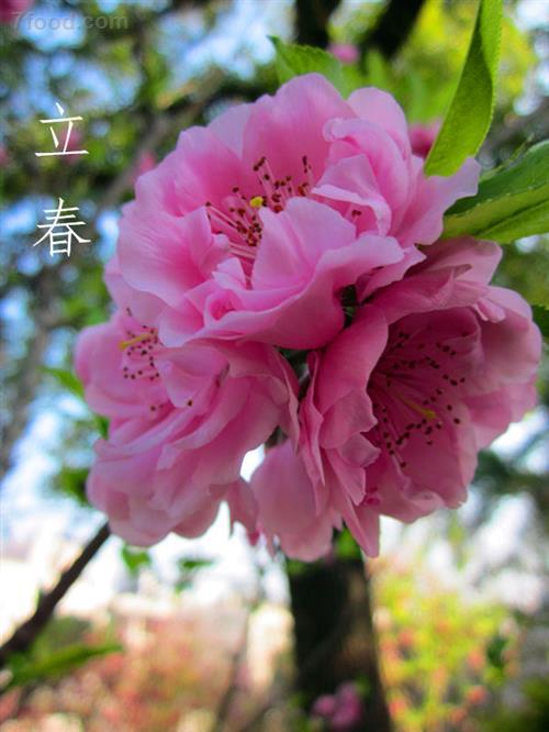 立春的由來和習俗是什么_中國習俗_習俗文化