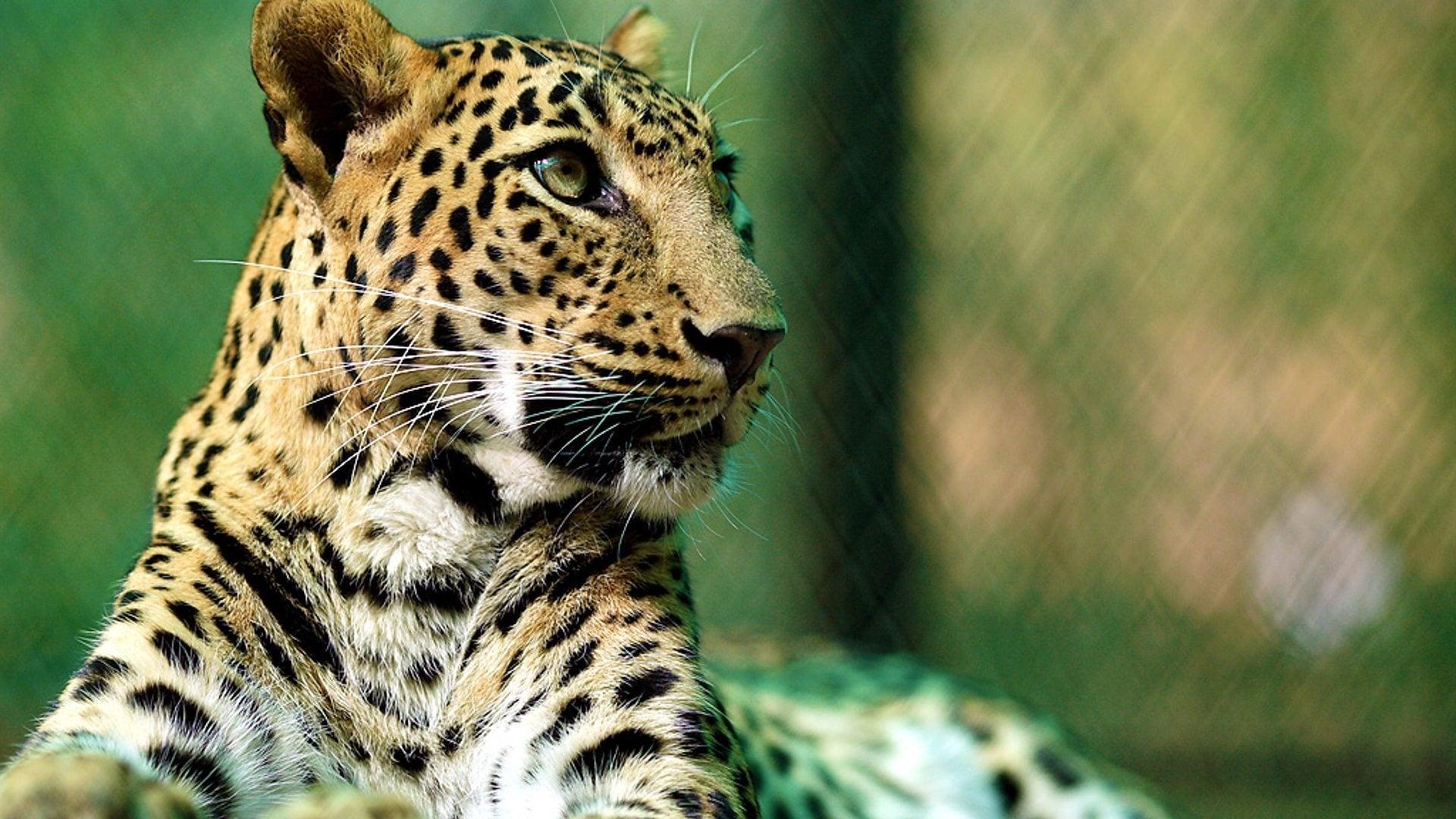 Leopard Animal Essay Title