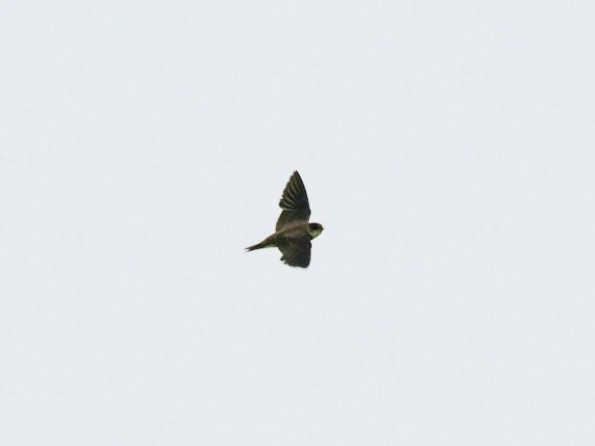 ショウドウツバメ - バードリサーチ 身近な鳥図鑑 http://i0.wp.com/www.bird-research.jp