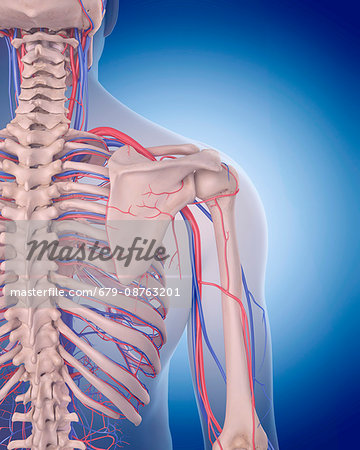 human vascular anatomy diagram trane voyager thermostat wiring system of the shoulder illustration stock photo