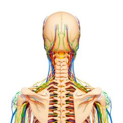 Diagram Lymph Nodes On Back Of Head Electric Cooker Installation Wiring Neck Stock Photos Page 1 Masterfile