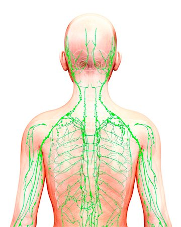 diagram lymph nodes on back of head kenwood home stereo wiring view stock photos page 1 masterfile human lymphatic system computer artwork photo premium royalty free code
