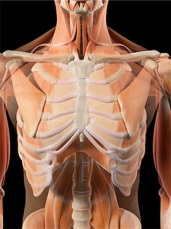 diagram of rib cage and muscles 1997 honda civic stereo wiring cool radio s best the stock photos page 1 masterfile human thoracic computer artwork photo premium royalty free code