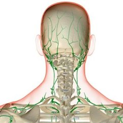 Diagram Lymph Nodes On Back Of Head Soil Profile Michigan Neck Stock Photos Page 1 Masterfile The Supply And Photo Premium Royalty Free