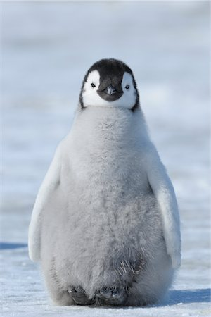 cute fluffy baby penguin